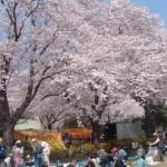 小林牧場満開の桜