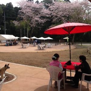 抹茶と桜が合いました