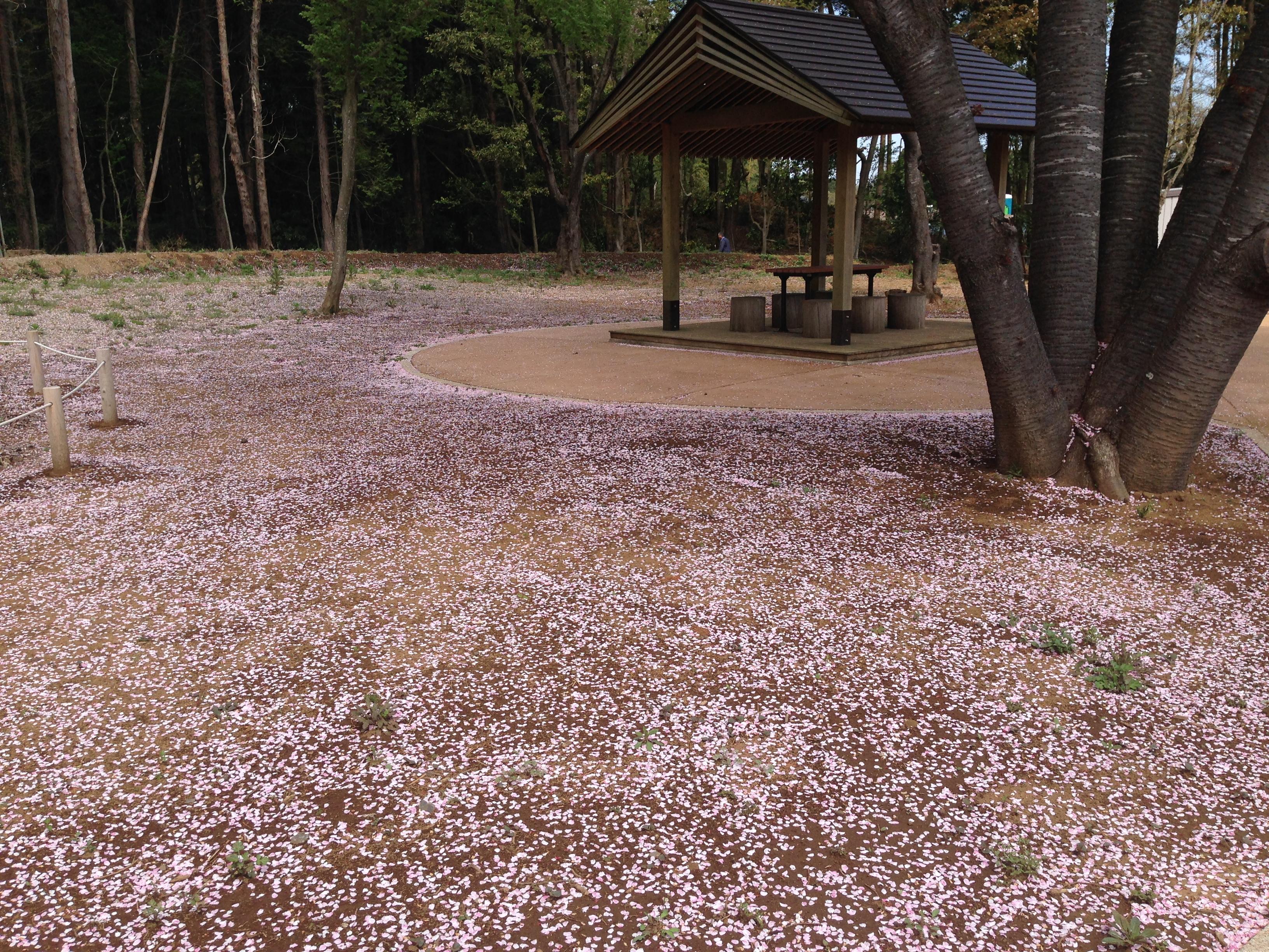 辺り一面が桜のじゅうたんのようでした。