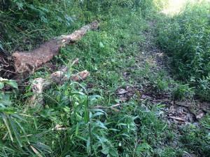 道作古墳近くの散策路の倒木をチェーンソーにて切断。歩き易くしました。