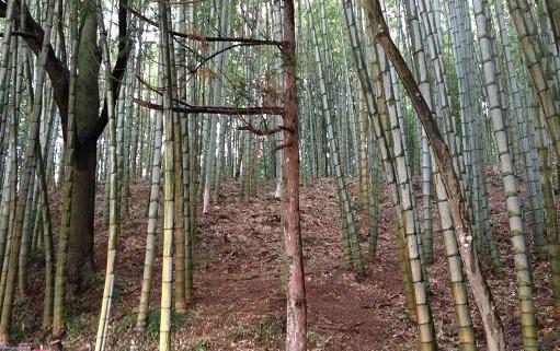 斜面にある竹林を良く手入れしてるのを見かけるので、美しい竹やぶとして整備されているようです。