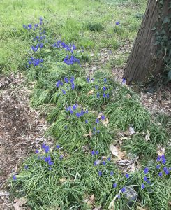 途中にこんな花も咲いていました。「ムスカリ」という花ですかね。